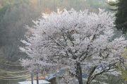 傾きかけた太陽の日を浴びた桜
