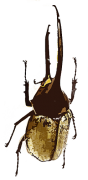 ヘラクレスオオツノカブト