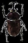 よく見かけるカブトムシ