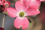 ピンク色と白のドッグウッド