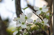白色のアメリカヤマボウシ