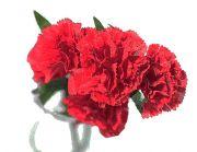 花瓶に挿した赤いカーネーション