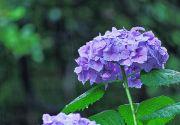 雨と淡い紫色のアジサイ