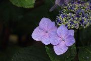 紫色の額紫陽花