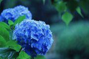 雨と青色の紫陽花