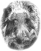 猪の顔(モノクロ)