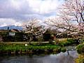 桜と川壁紙