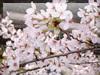 桜の写真・壁紙・背景
